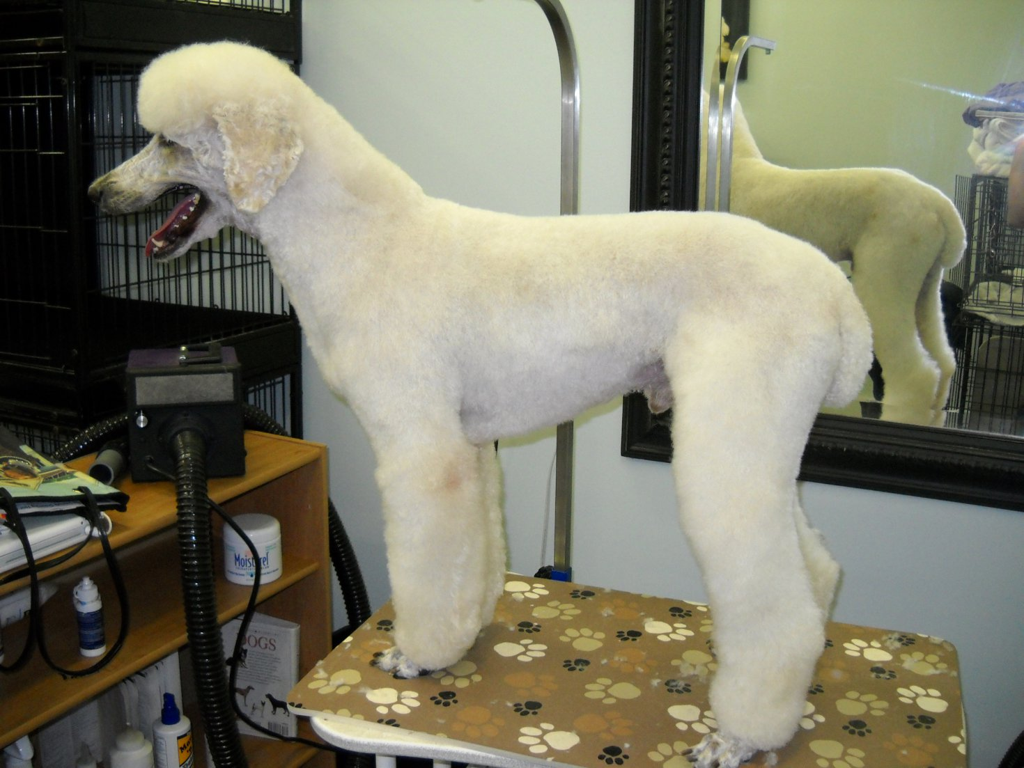 Summer Haircuts.... - Poodle Forum - Standard Poodle, Toy Poodle ...