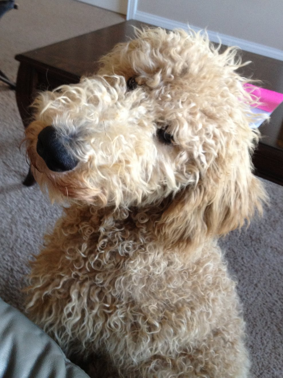 Favorite poodle color?-lou-close-up-modeling.jpg