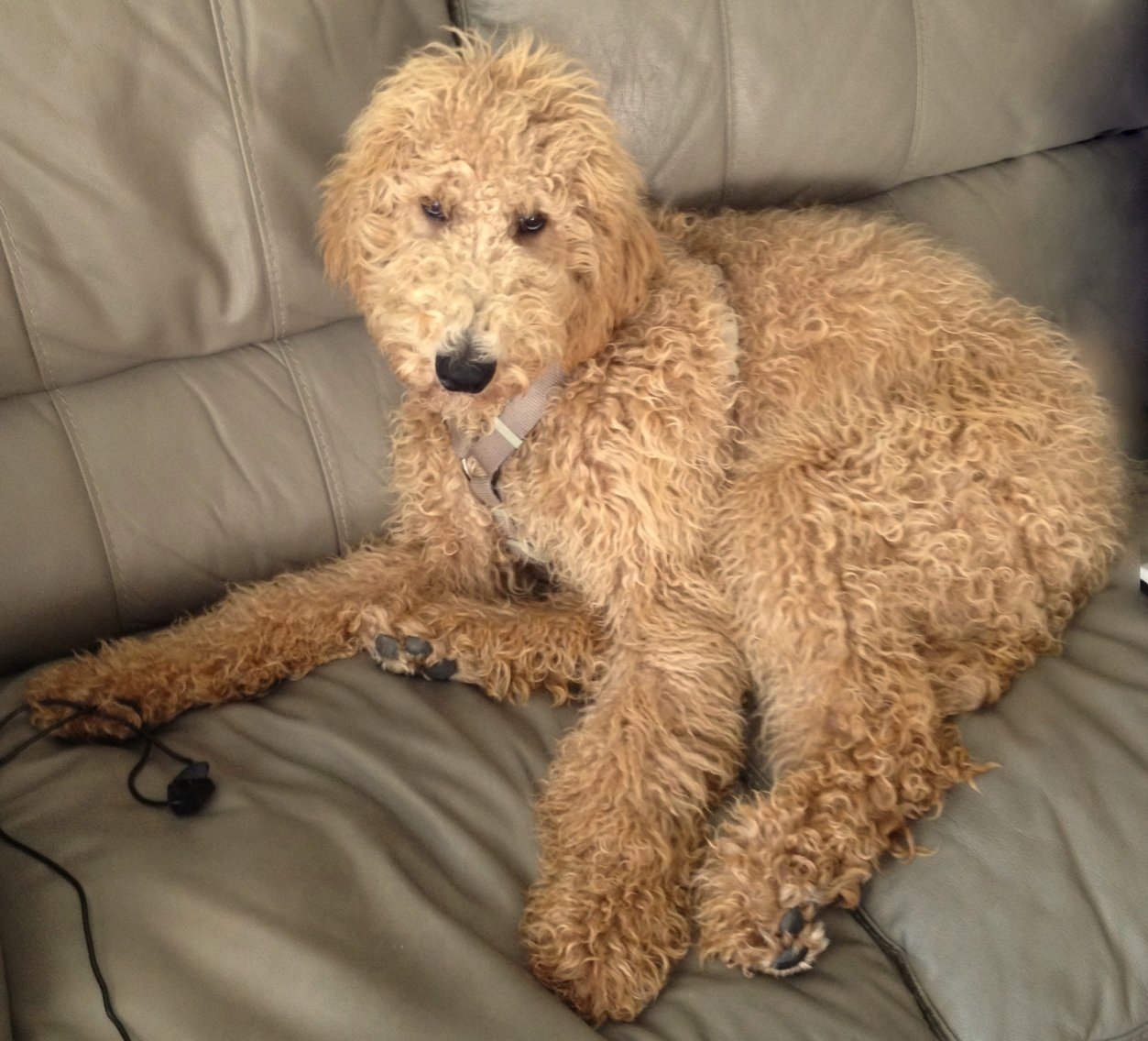 Labradoodle Sad Eyes Dog - DopePicz