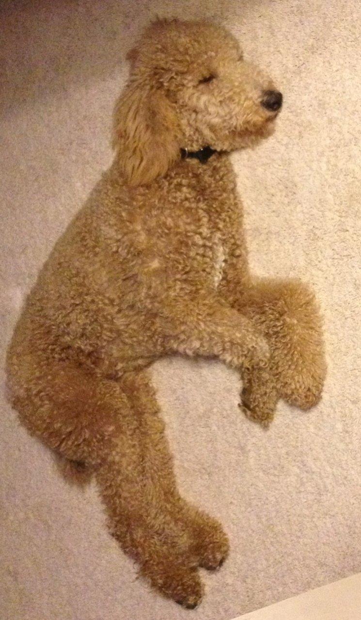 Light Apricot Standard Poodle