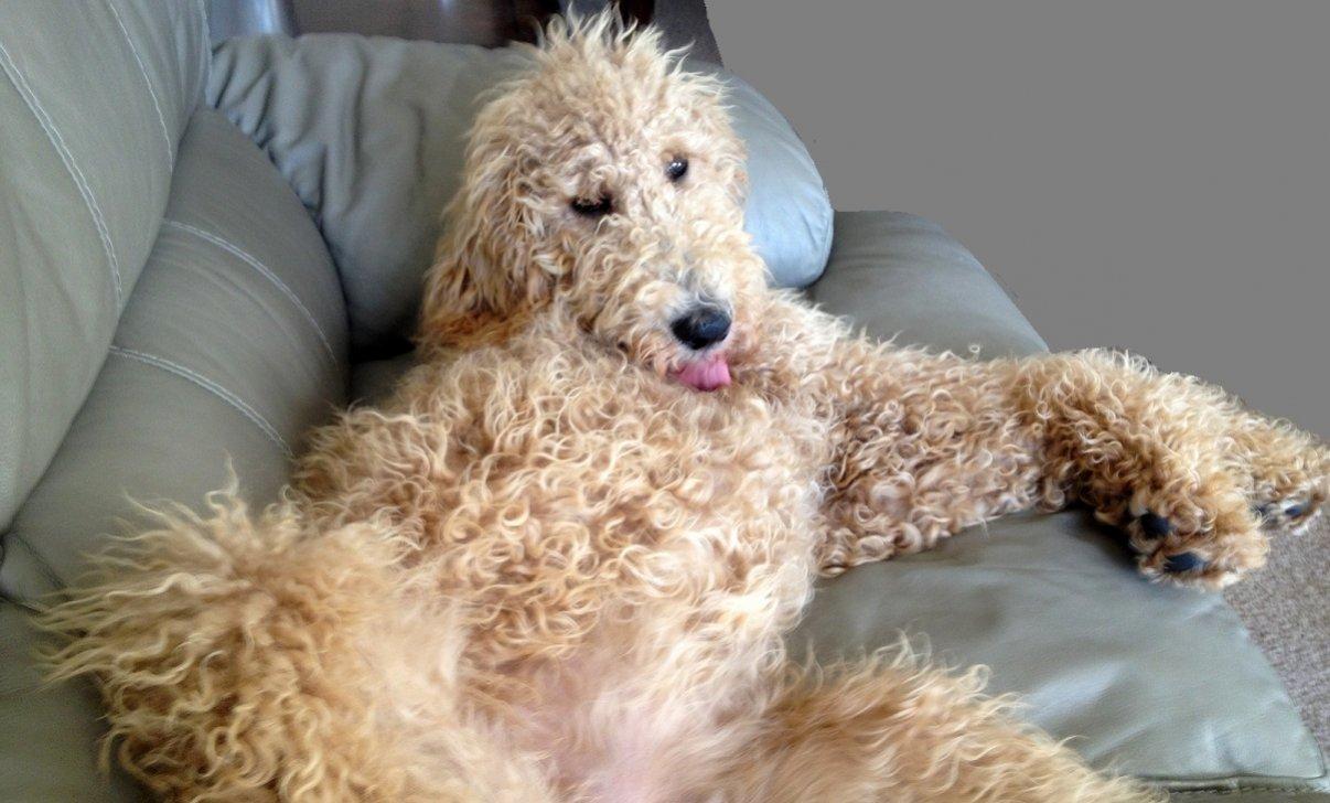 Favorite poodle color?-lou-sweet-sweet-baby-sm.jpg
