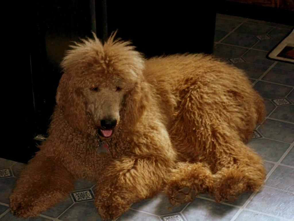 Full Grown Size? - Page 4 - Poodle Forum - Standard Poodle ...