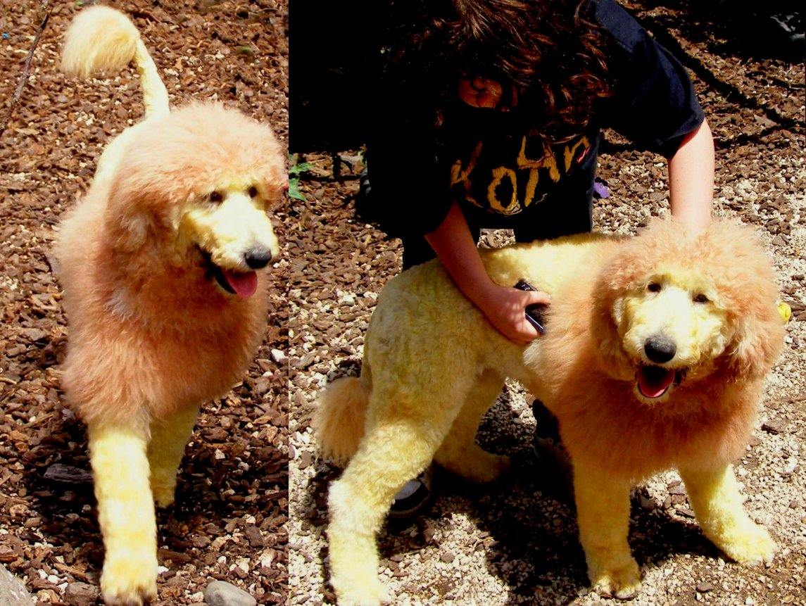 Dyeing hair with chalk???-lula-lion-2.jpg