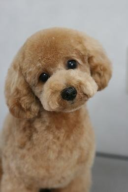 Japanese Style Grooming Poodle Forum