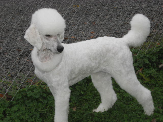 Poodle Haircuts Styles Image Collections Haircuts For Men And Women