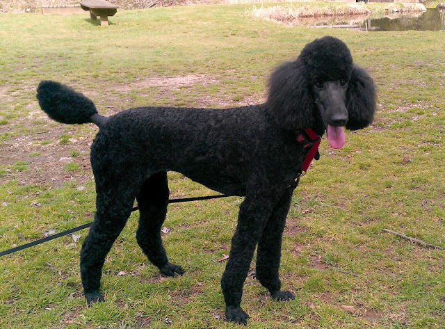Poodle weight-marchgroomgristmillface.jpg