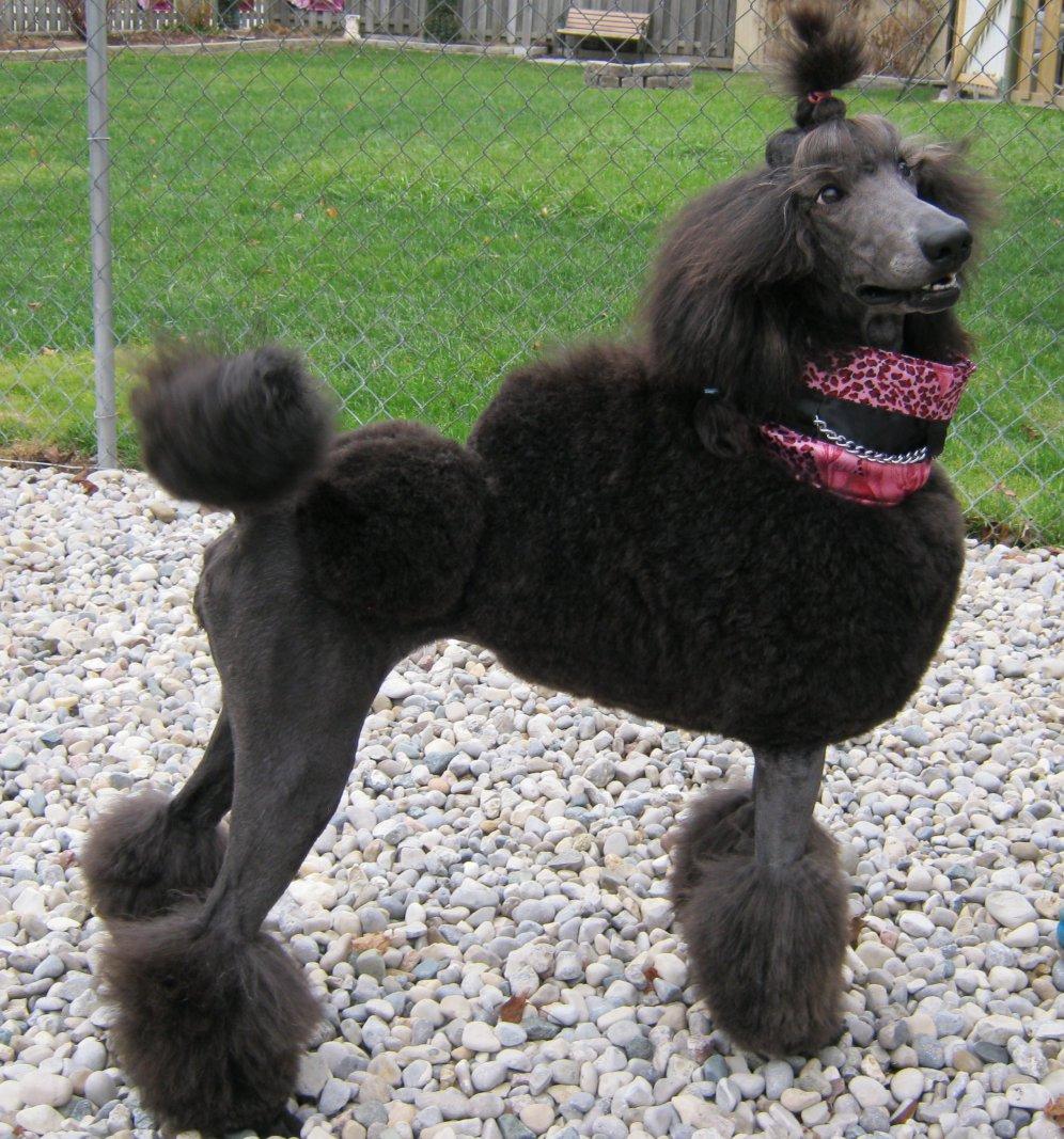 Standard poodle breeders east coast