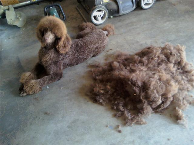 Poodle Grooming Pictures / Tips-mikey-after.jpg