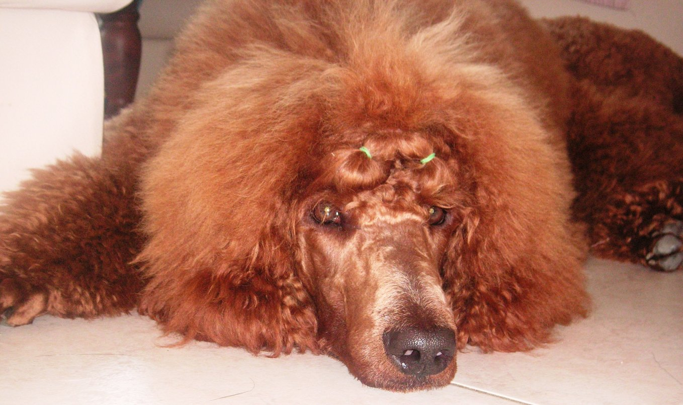 The Red Poodle Thread-murphy-nine-months-old-8.jpg