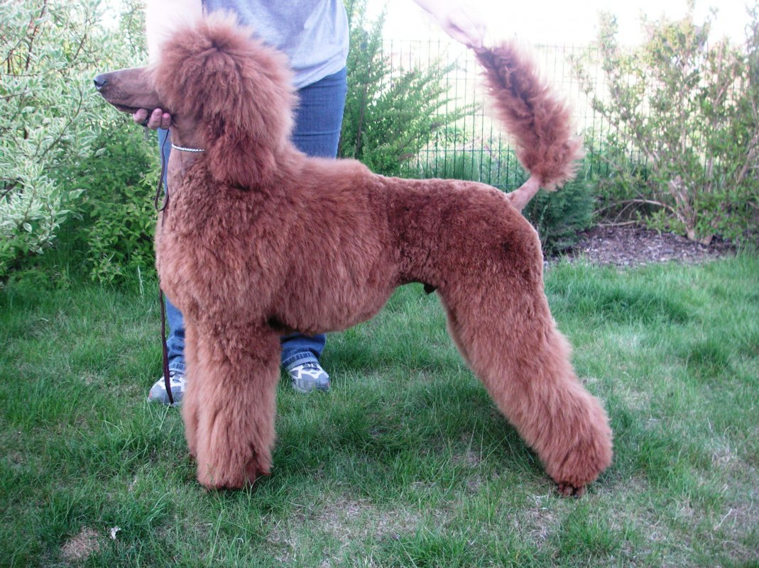 Gay Docking Pics for tails - poodle forum - standard poodle, toy poodle, miniature