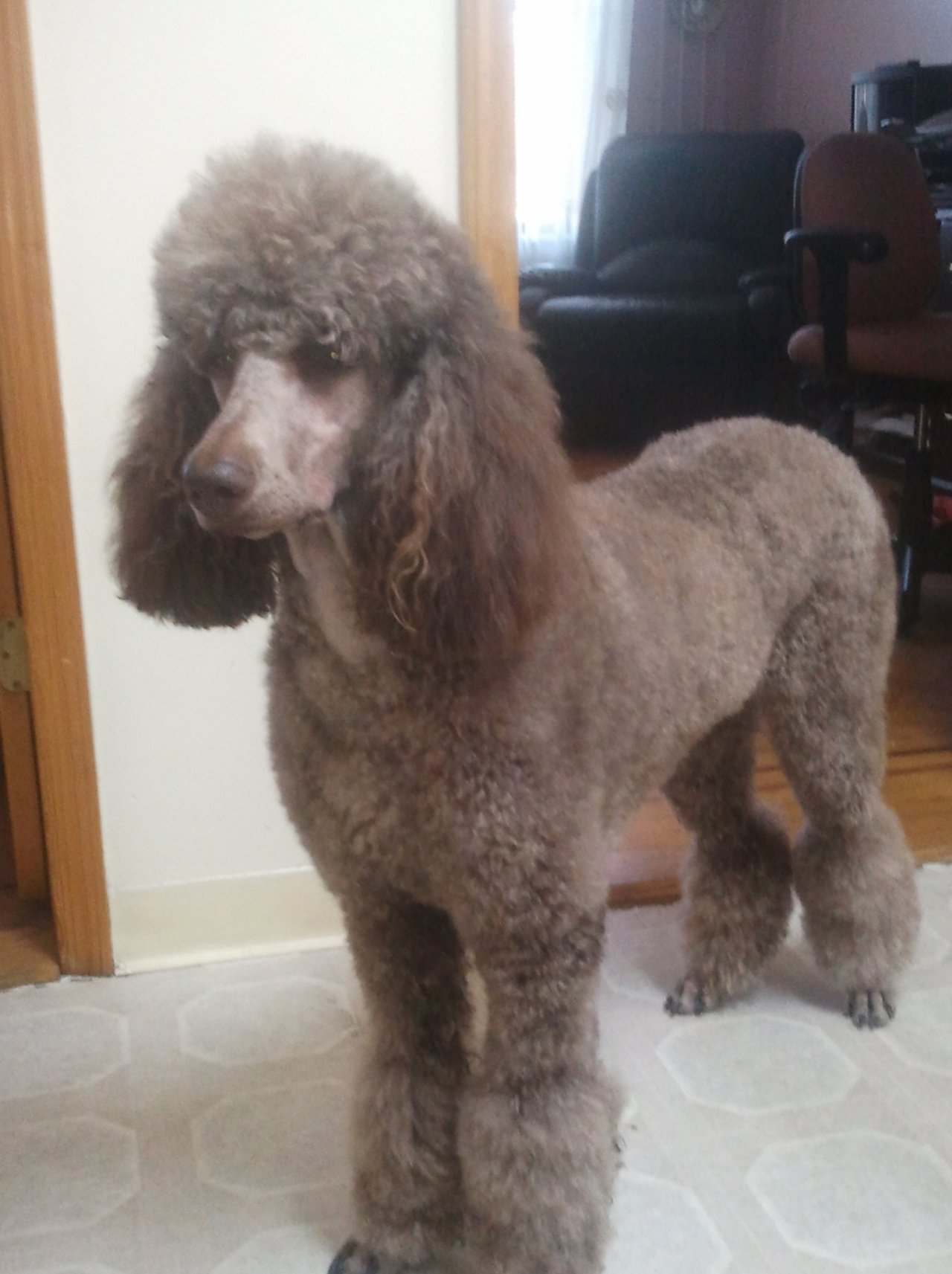 my first grooming attempt poodle forum standard poodle