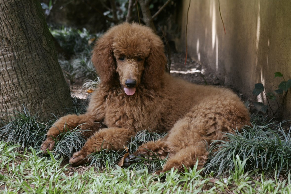 The Red Poodle Thread-nicolau-six-months-2.jpg