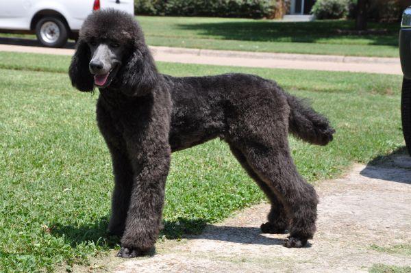 Vega's first lamb trim! - Poodle Forum - Standard Poodle