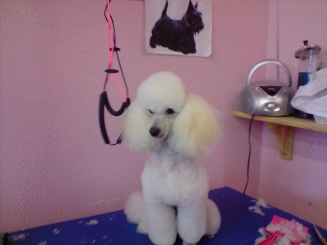 Poodle Cuts / Pictures of different poodle cuts-p090708_15.52.jpg