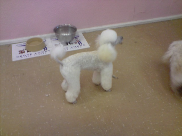 Poodle Cuts / Pictures of different poodle cuts-p090708_15.55.jpg