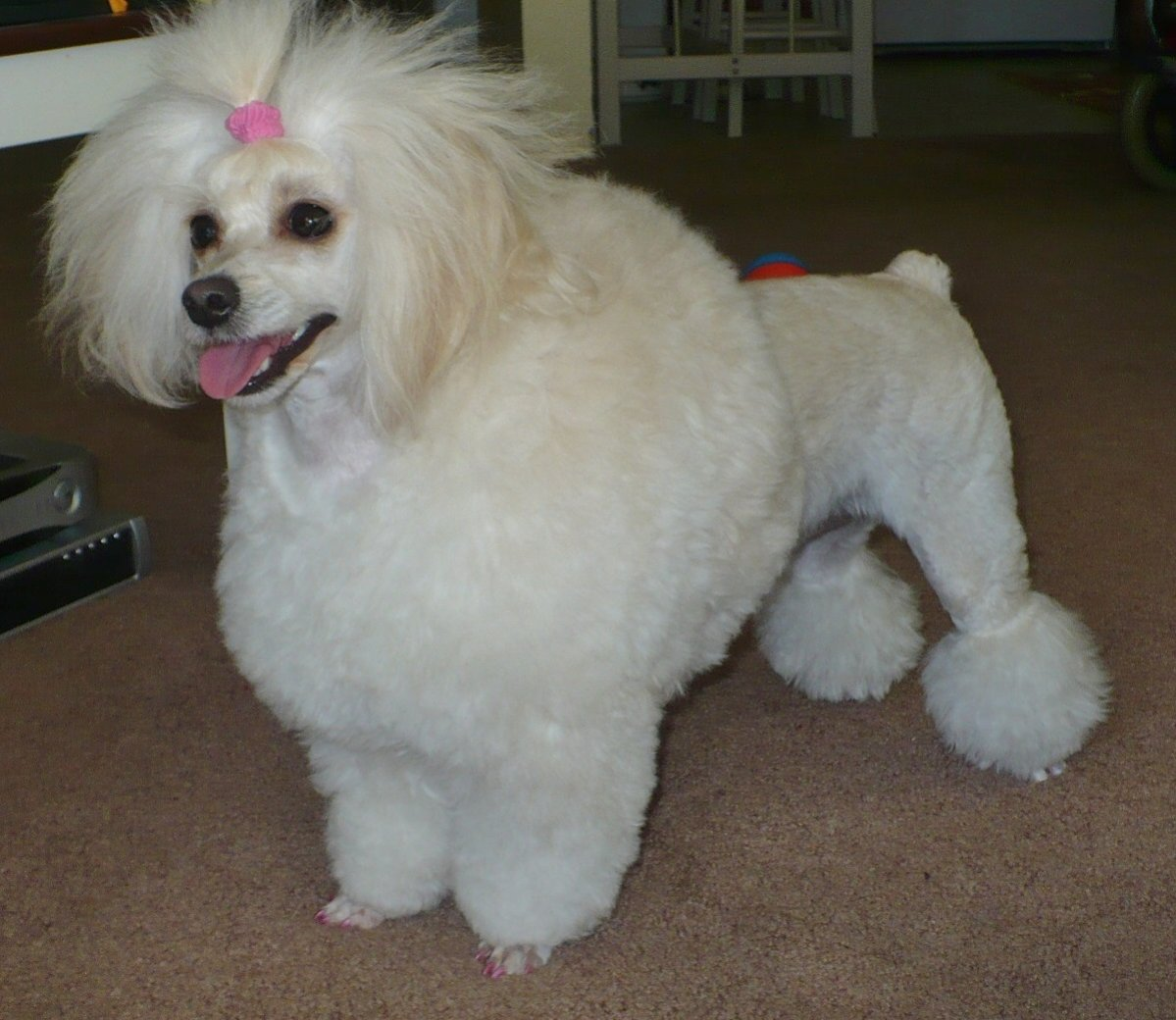 The Shaved Havanese