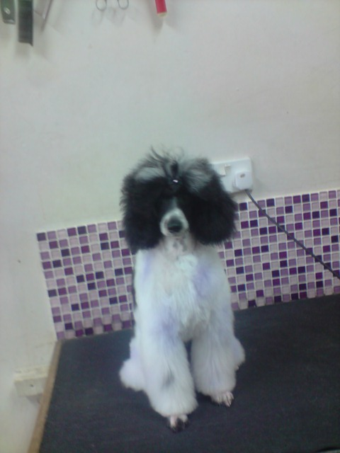 Poodle Cuts / Pictures of different poodle cuts-p280709_16.21-02-.jpg