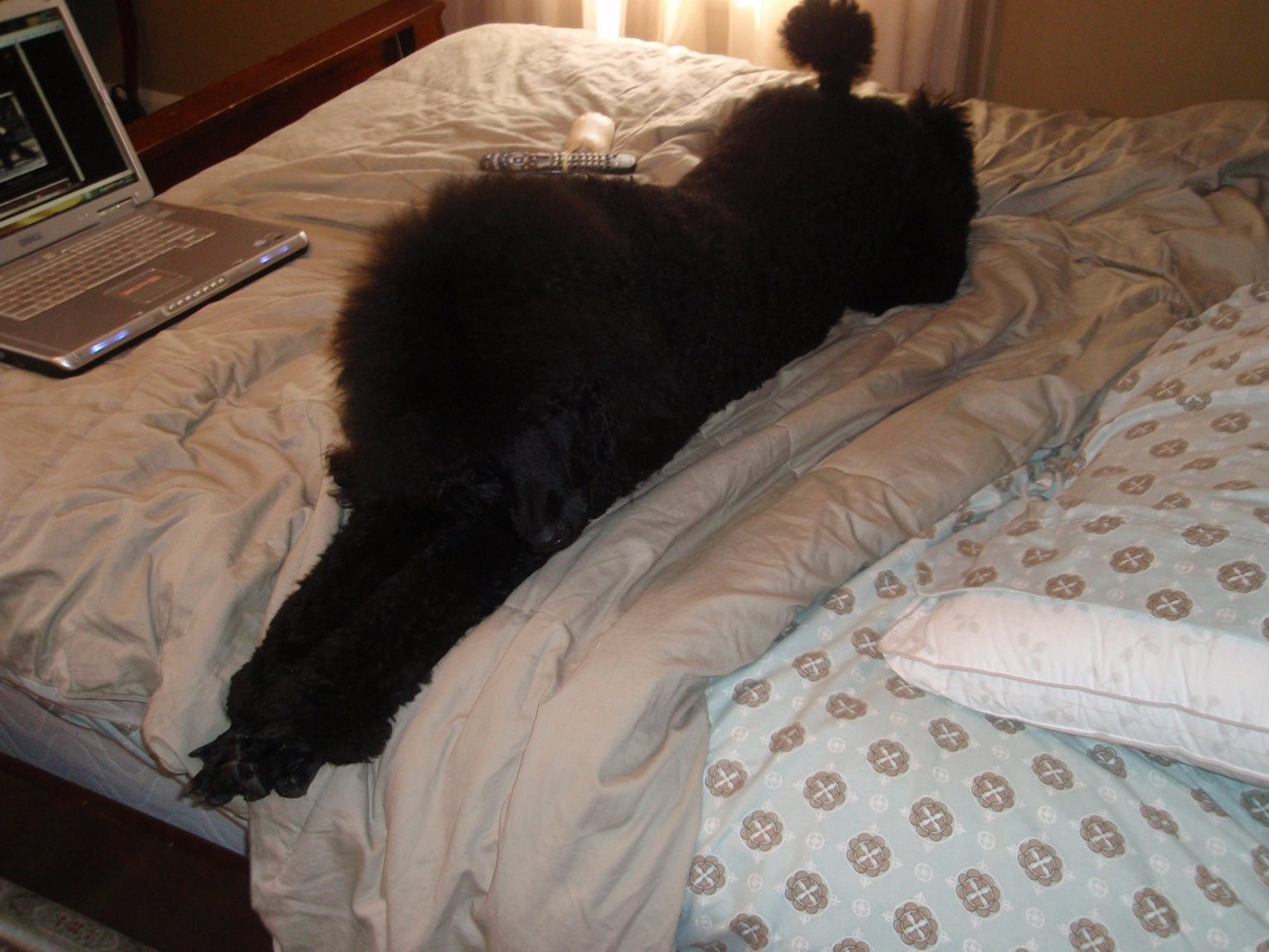 More Pics of Rambo growing up - Poodle Forum - Standard ...