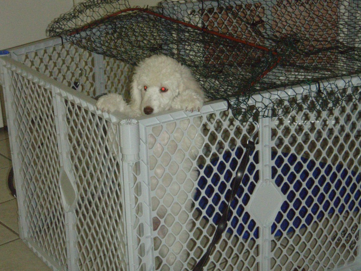 Where To Find Puppy Growth Chart Online Page 2 Poodle Forum