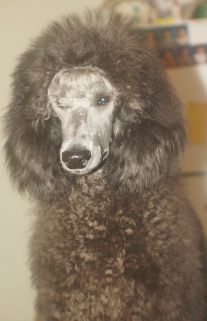 Paragon's Silver Sky-paragons-silver-poodles.jpg