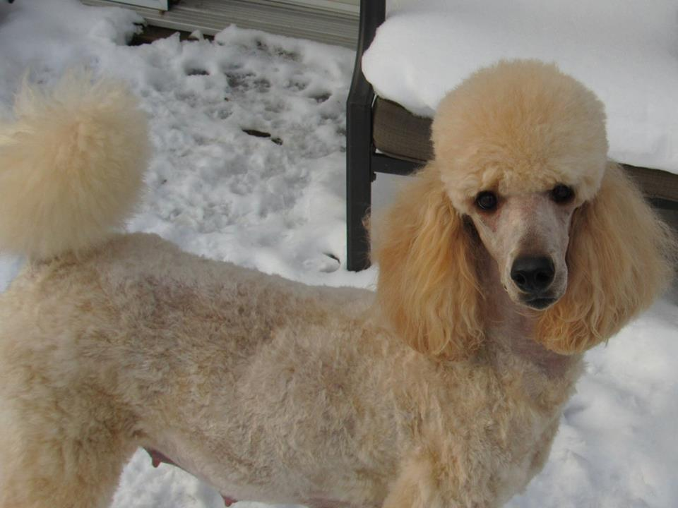 What Does Your Groomed Poodle Look Like Page 3 Poodle