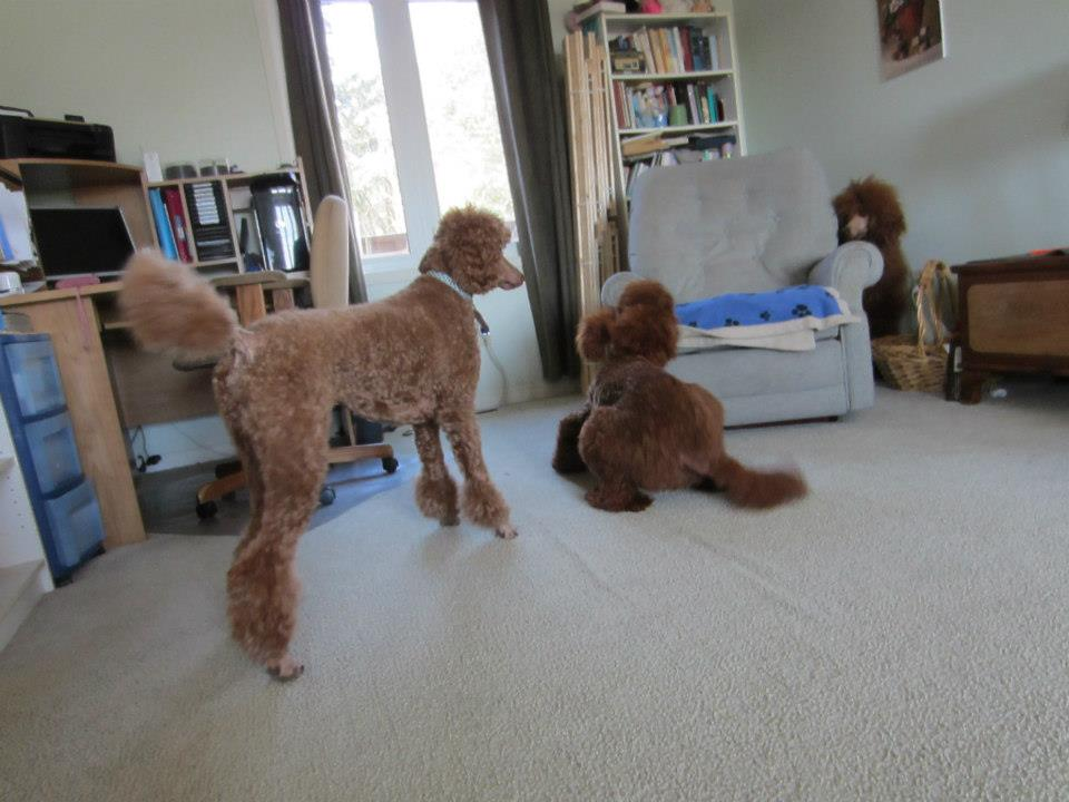 The red Poodle puddle-penny-7.jpg