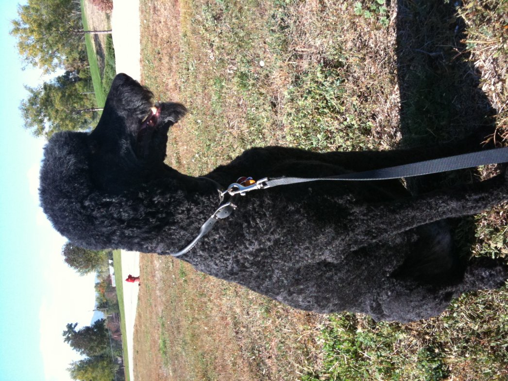 Leroy may NOT be a poodle!!-pepper.jpg