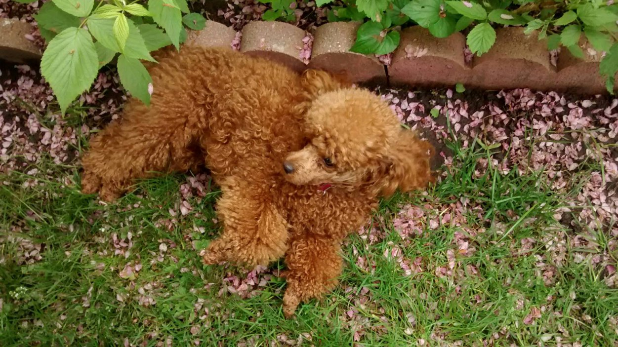 What a happy munchkin! - Poodle Forum - Standard Poodle, Toy Poodle ...