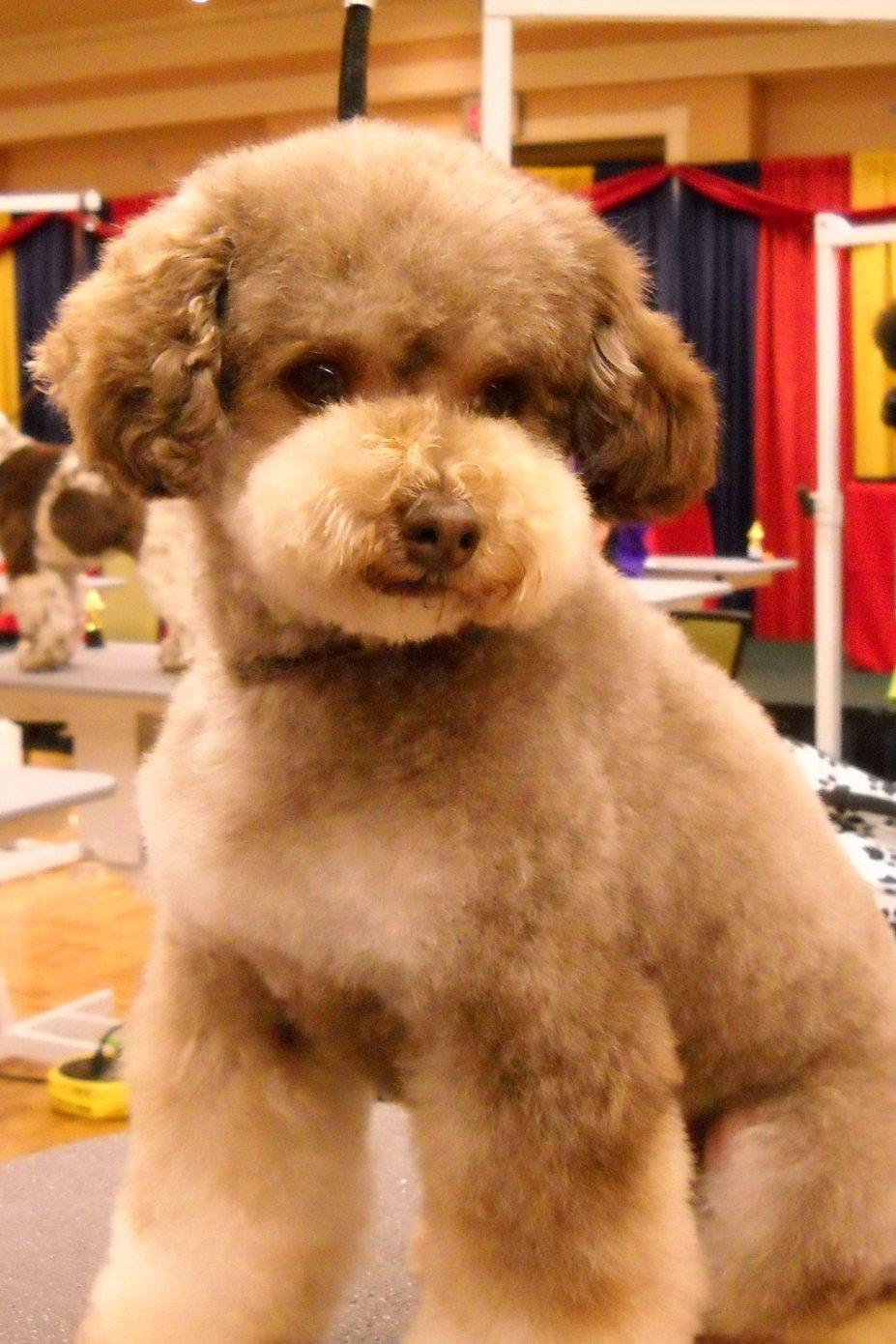 Apricot Toy Poodle Haircuts Different \x3cb\x3epoodle\x3c/b\x3e faces ...