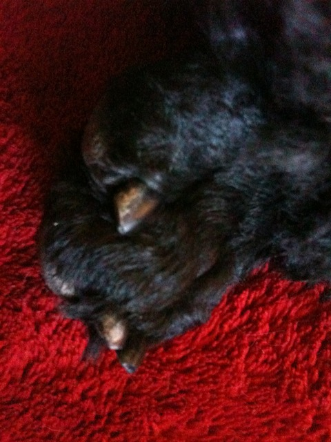 Nail Length On Show Dogs Poodle Forum Standard Poodle