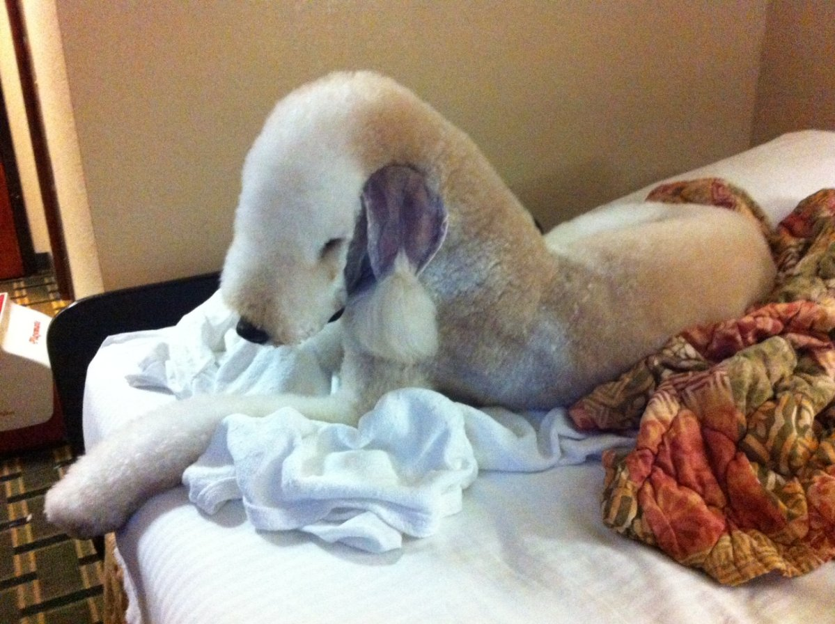 Standard poodle haircuts or of unless soft haircuts standard poodle -  Leroy In A Bedlington Trim Photo 1 Jpg