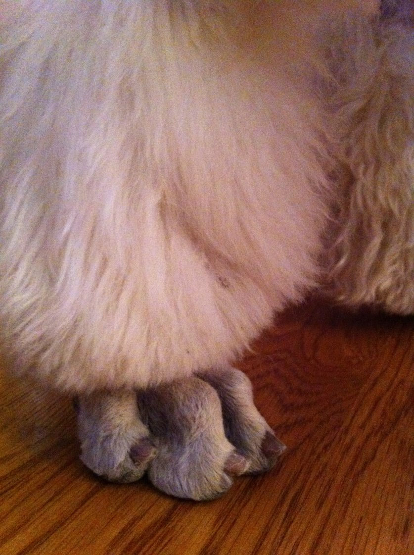 Nail length on Show dogs - Poodle Forum - Standard Poodle, Toy ...