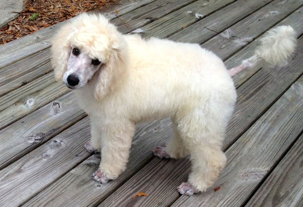 healthy weight for standard poddle puppy-photo-9-.jpg