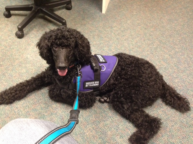 New With A Standard Poodle That Is A Service Dog In Training
