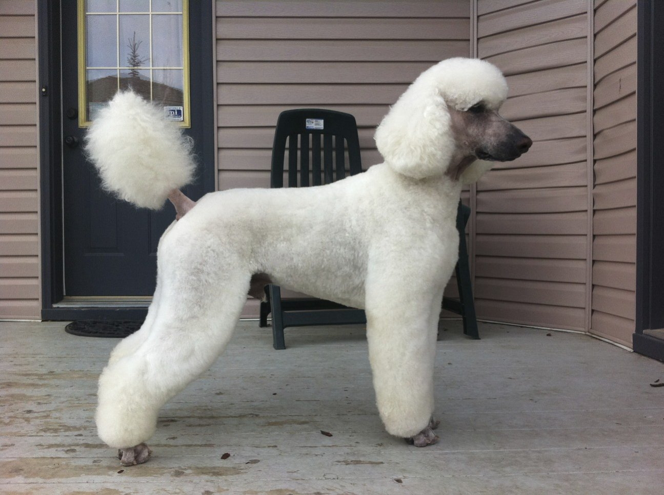 The White Poodle Thread-photo.jpg