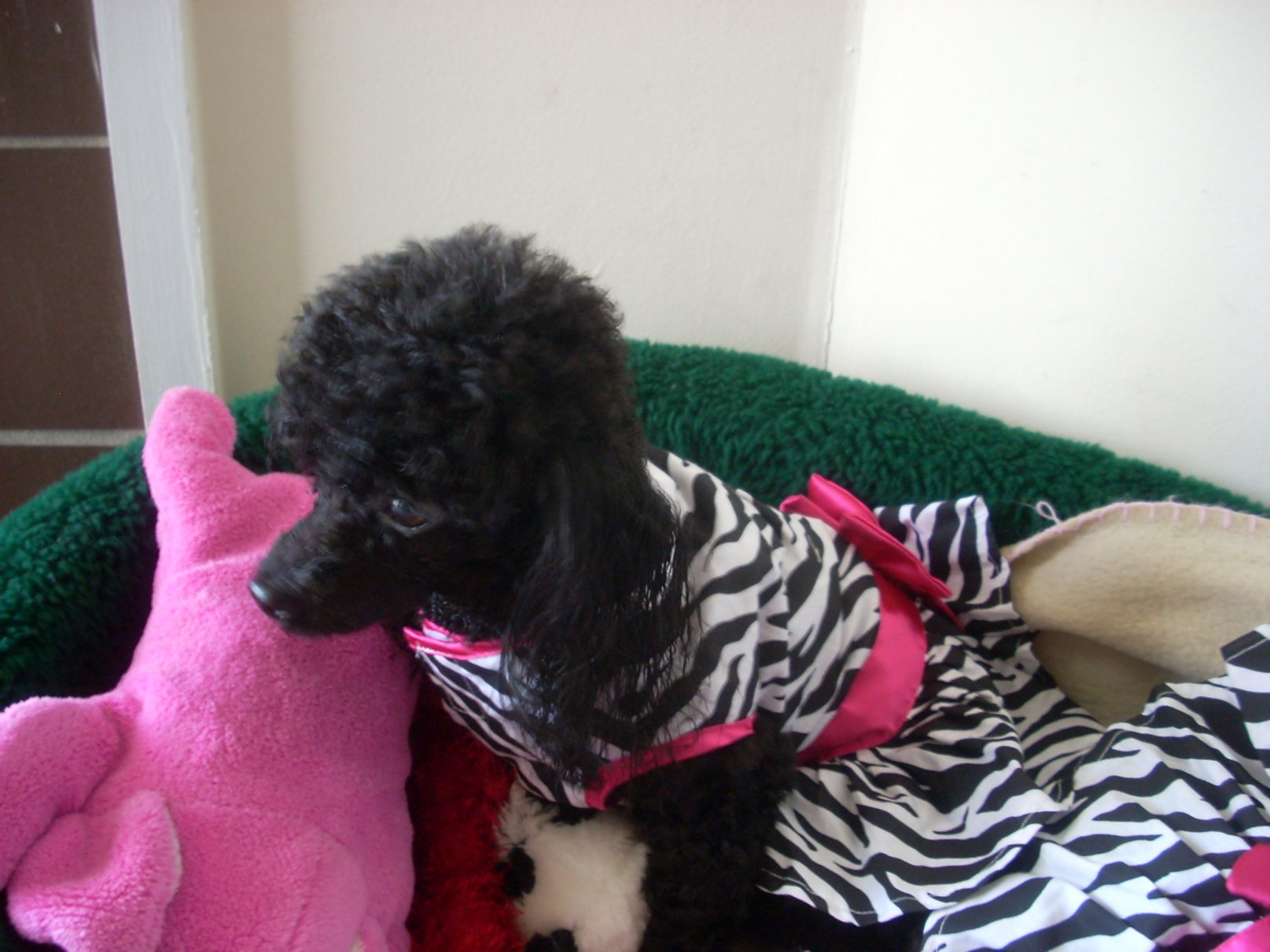 My Poodles-pics-004.jpg
