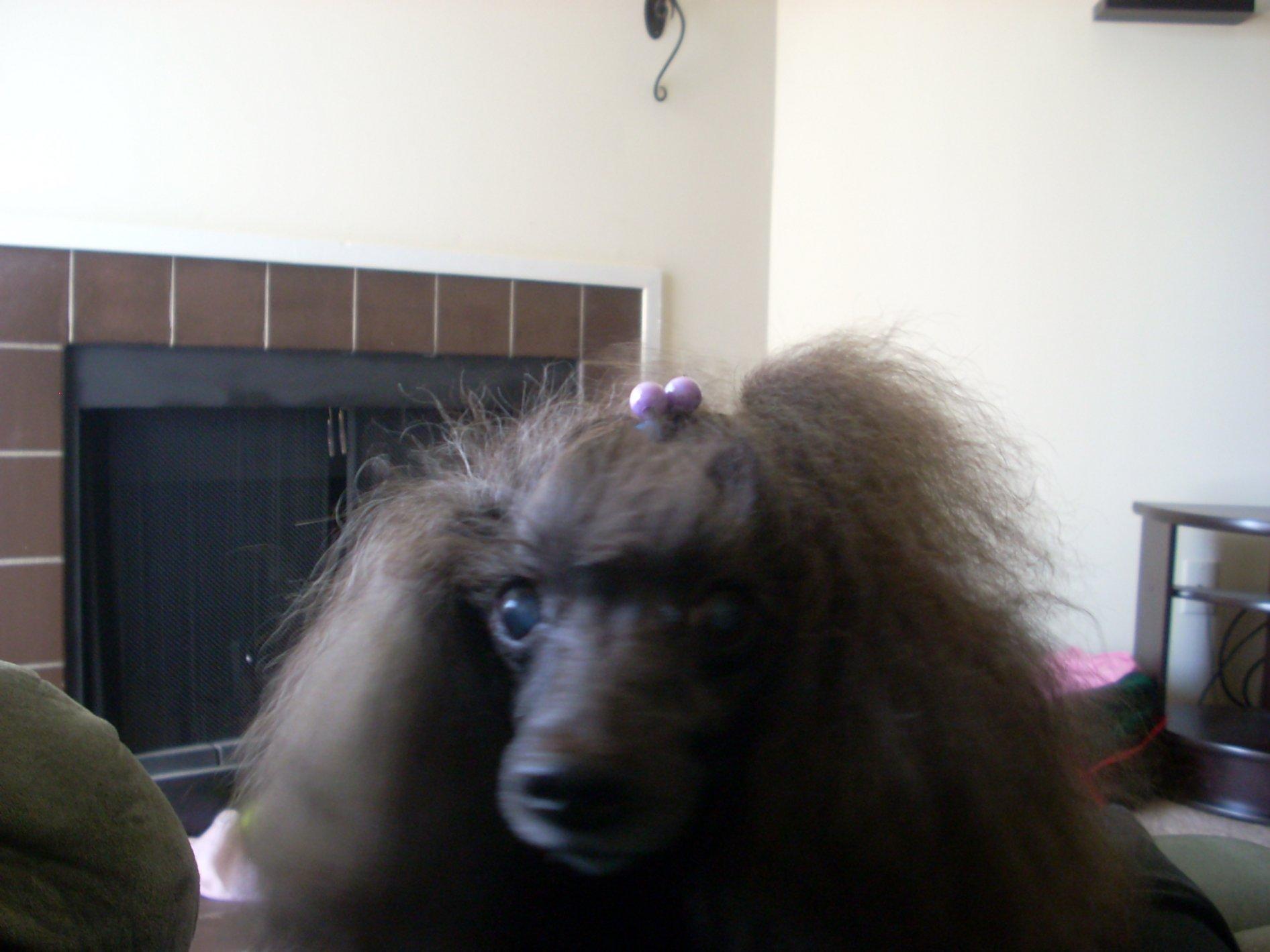My Poodles-pics-036.jpg