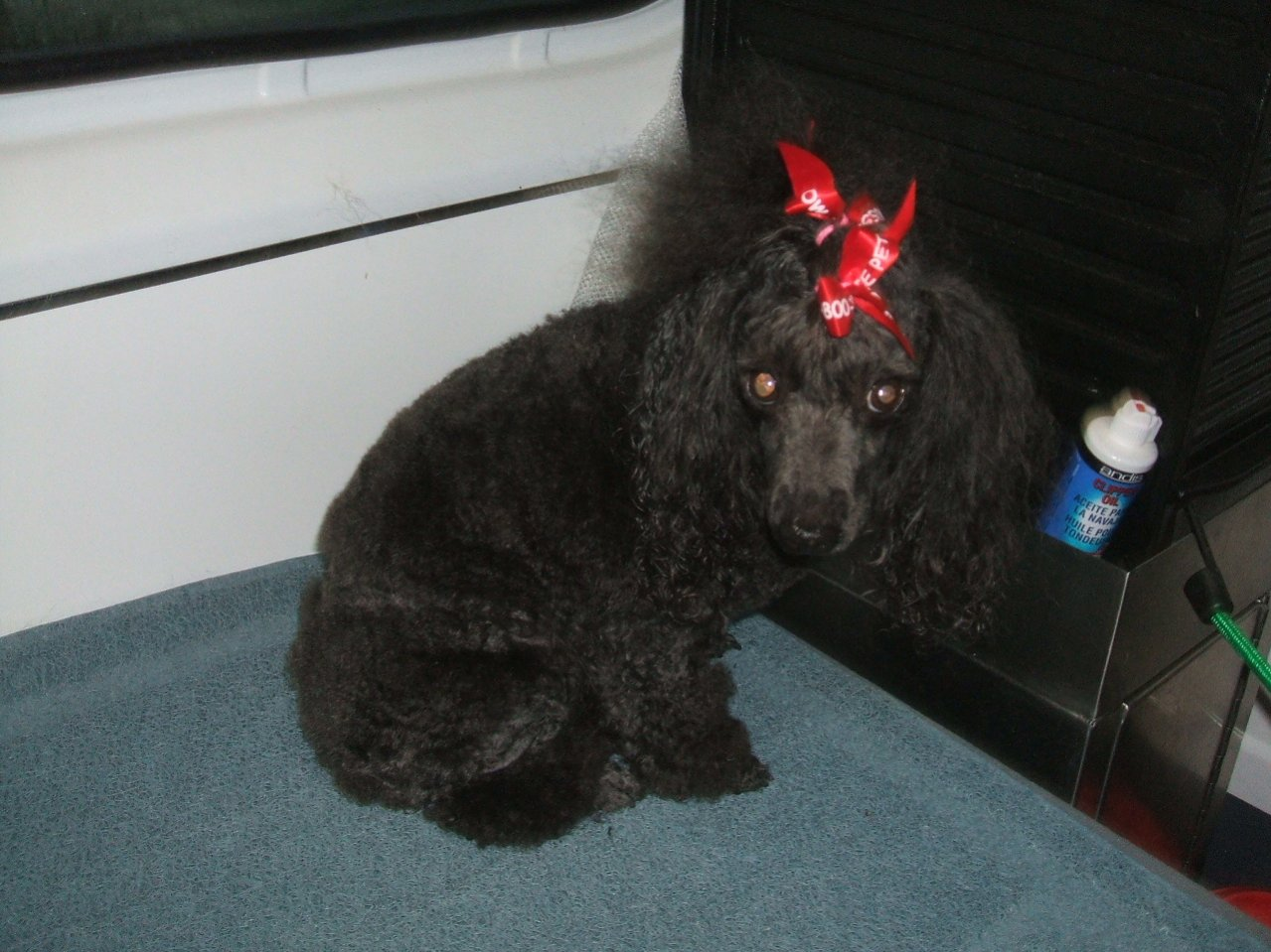 My Poodles-pics-044.jpg