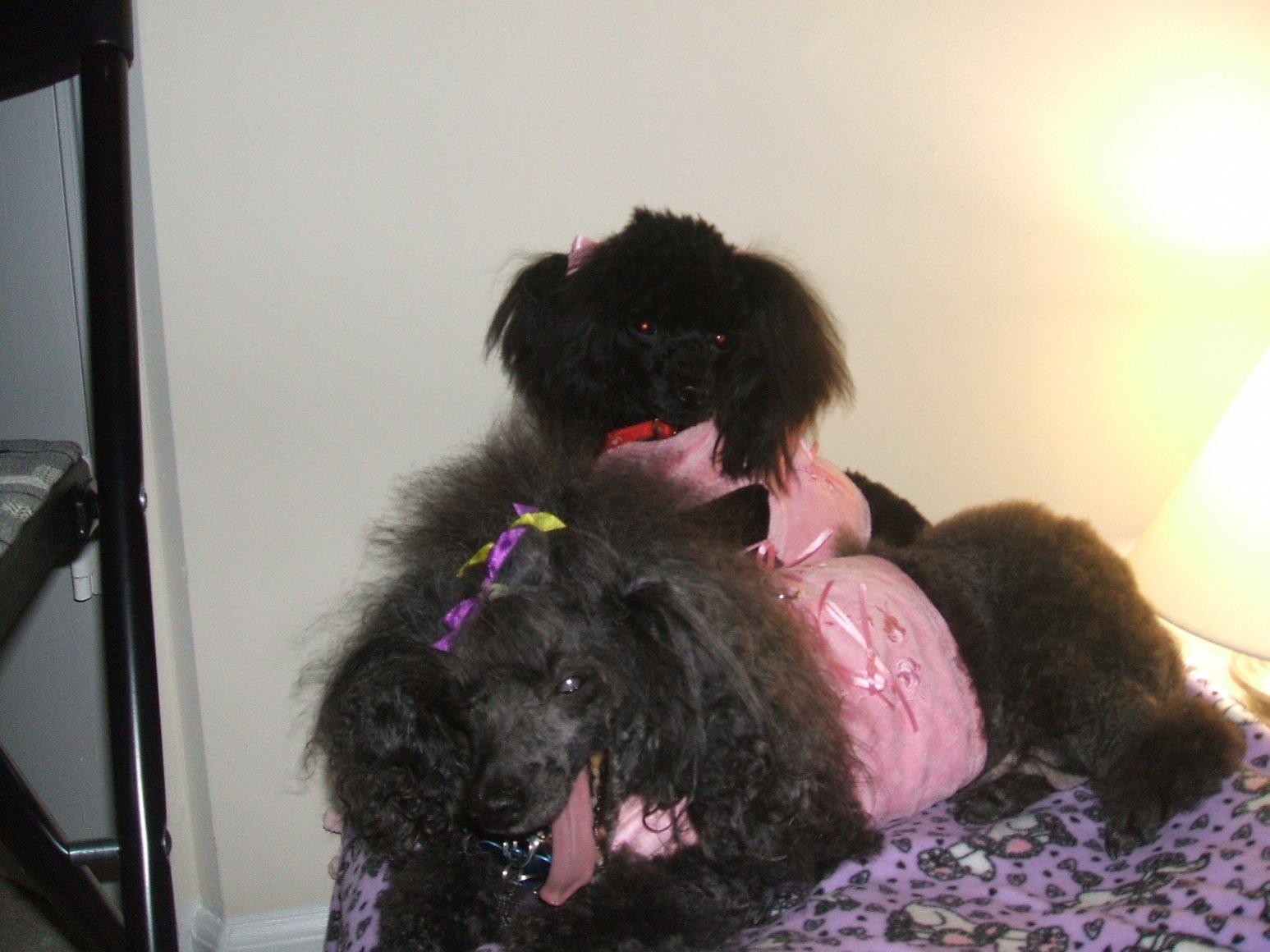 My Poodles-pics-048.jpg