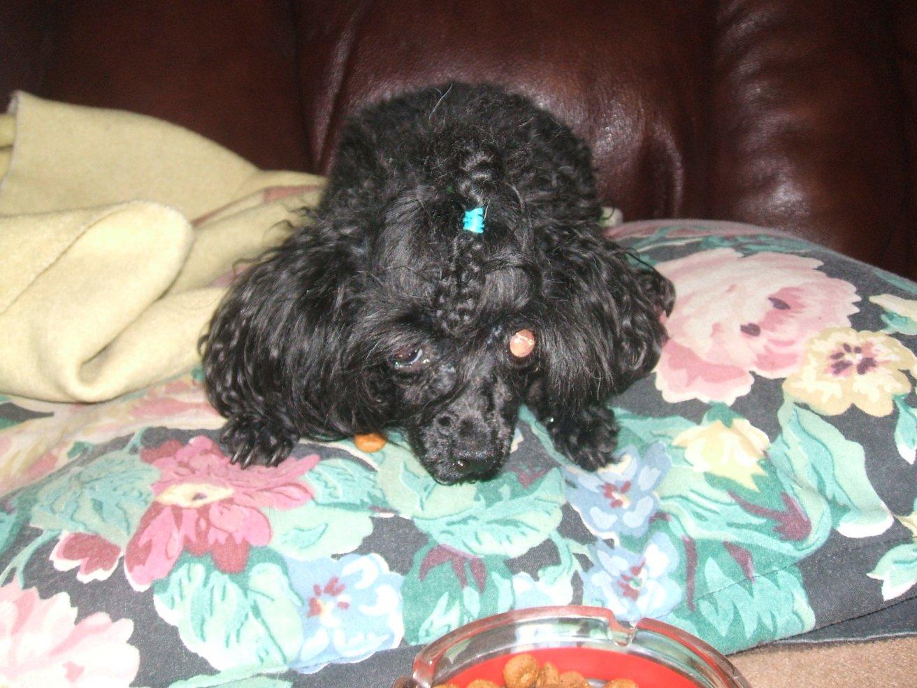 My Poodles-pics-198.jpg