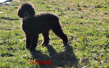 My two Standard Poodles (just a few pics)-picture-009.jpg