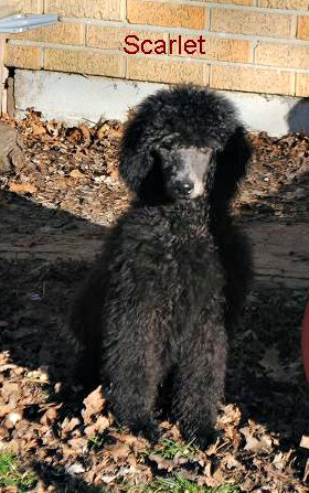 My two Standard Poodles (just a few pics)-picture-014.jpg