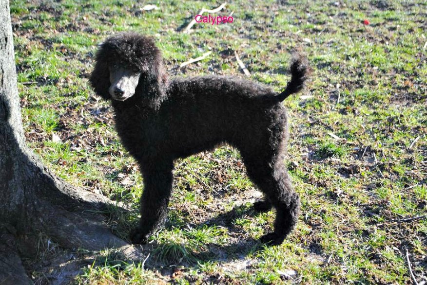 My two Standard Poodles (just a few pics)-picture-015.jpg