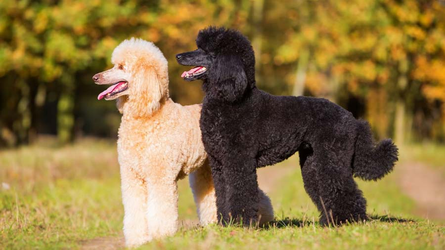 Hi those lovely poodle owners. Can you spare a few moments to take my survey?-poodle-2.jpg