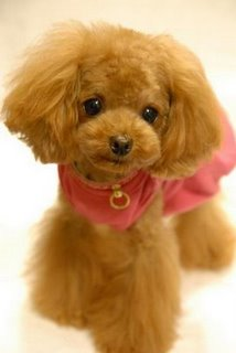 Poodle Cuts / Pictures of different poodle cuts-poodle-teddy-bear-cut.jpg