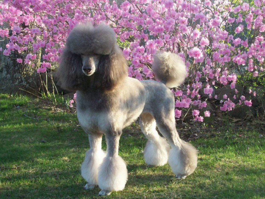 Coat Change Tips and Style Pics?-poodlecut.jpg