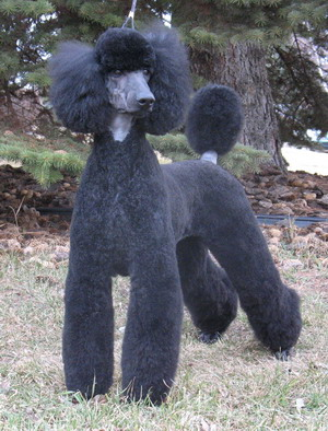 Poodle Cuts / Pictures of different poodle cuts-poodlestdadult5.jpg