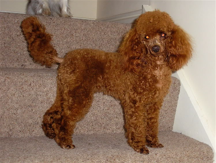 Miniature poodles with long tails-poppyclipped.jpg