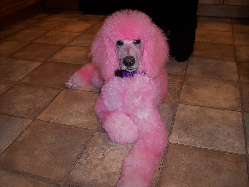 Pretty in Pink - Poodle Forum - Standard Poodle, Toy Poodle ...