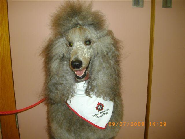 Bijou Poodles Ontario Canada-princie-therapy-dog.jpg